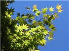 夏天绿色枫叶图片
