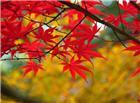 秋天枫叶高清图片