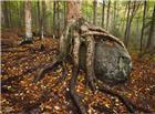 千年树根高清图片