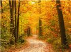 枫树树林小路图片