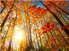 树林枫树高清图片