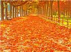 枫叶风景高清图片