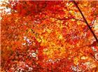 高清枫叶素材图片