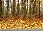 枫树落叶风景图片
