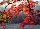 精美枫叶素材图片