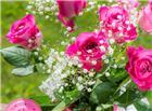 玫红色玫瑰花图片