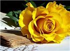 黄色玫瑰花唯美意境图片