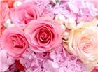 玫瑰花美丽花朵图片