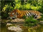 树林老虎高清大图图片