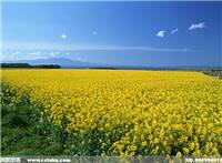 在田野中油菜花,我们看到的一大片黄色油菜花
